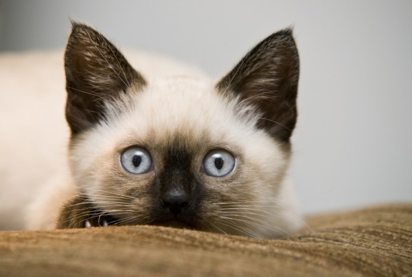 This weekend is the Cat Show at the Sonoma County Fairgrounds.